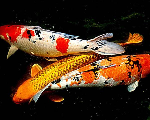 Koi Poster featuring the photograph Koi Story Three E by Randall Weidner