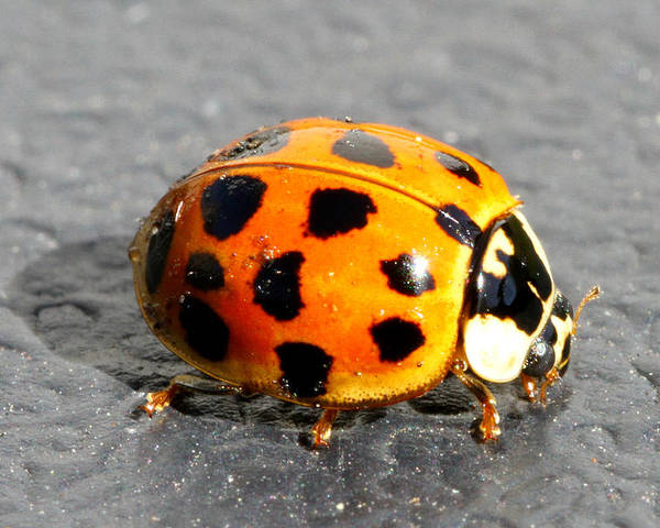 Beetle Poster featuring the photograph Ladybug In The Sun by Mark J Seefeldt