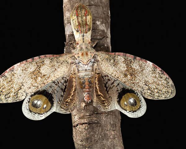 Mp Poster featuring the photograph Lantern Bug Fulgora Laternaria by Christian Ziegler