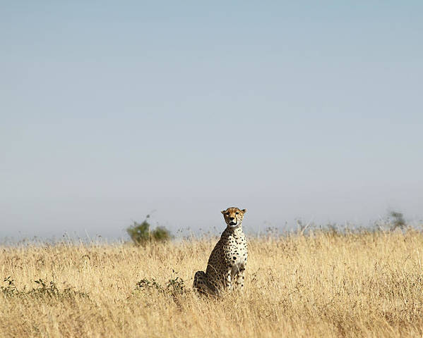 Cheetah Poster featuring the photograph Large Female Cheetah by Carole-Anne Fooks