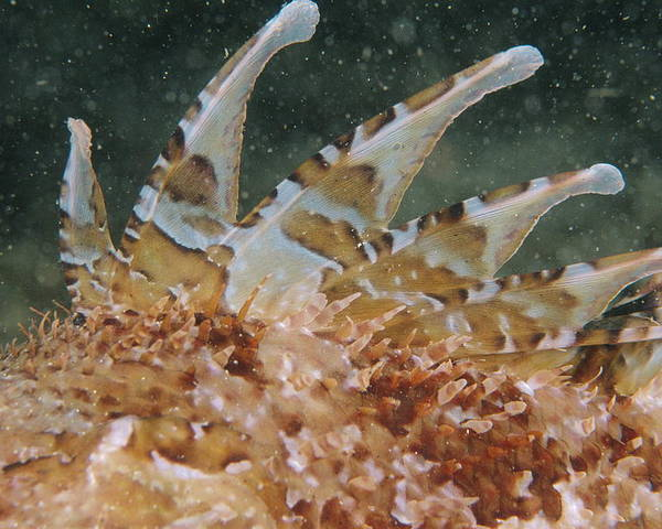 Scorpaena Scrofa Poster featuring the photograph Large-scaled Scorpionfish by Alexis Rosenfeld