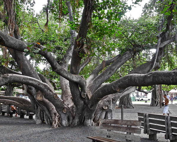 Banyan Tree Poster featuring the photograph Largest Banyan Tree in the USA by Kirsten Giving
