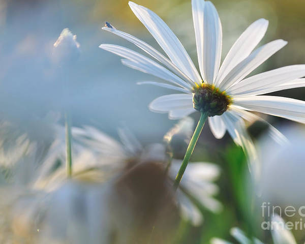 Photography Poster featuring the photograph Late Sunshine On Daisies by Kaye Menner