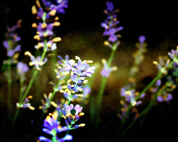 Lavender Poster featuring the photograph Lavender Dream by Ellen Heaverlo