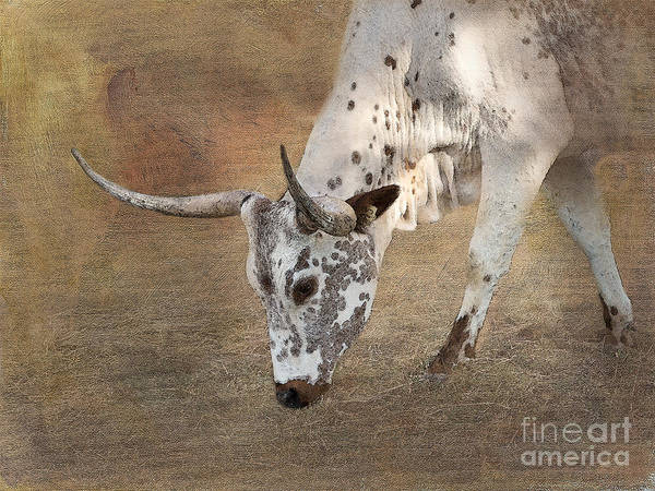 Texas Longhorn Poster featuring the photograph Lazy Days by Betty LaRue
