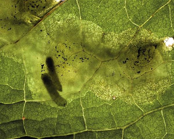 Leaf Miner Poster featuring the photograph Leaf Miners In A Dock Leaf by Vaughan Fleming