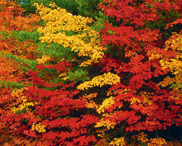 Autumn Colors Poster featuring the photograph Leaves On Trees Changing Colour by Mike Grandmailson