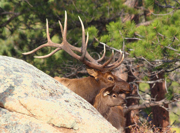 Elk Poster featuring the photograph Like Father - Like Son by Shane Bechler