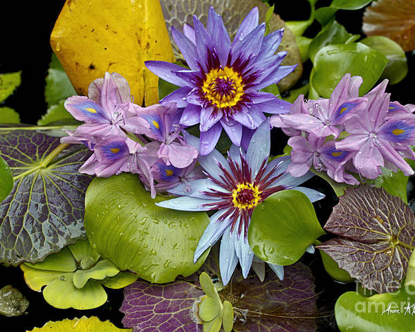 Waterlilies Poster featuring the photograph Lilies No. 12 by Anne Klar