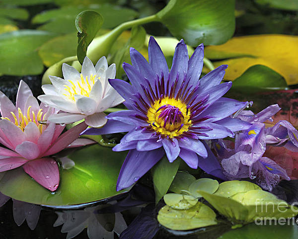 Waterlily Poster featuring the photograph Lilies No. 16 by Anne Klar