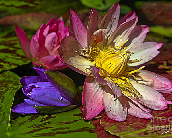 Waterlily Poster featuring the photograph Lilies No. 20 by Anne Klar