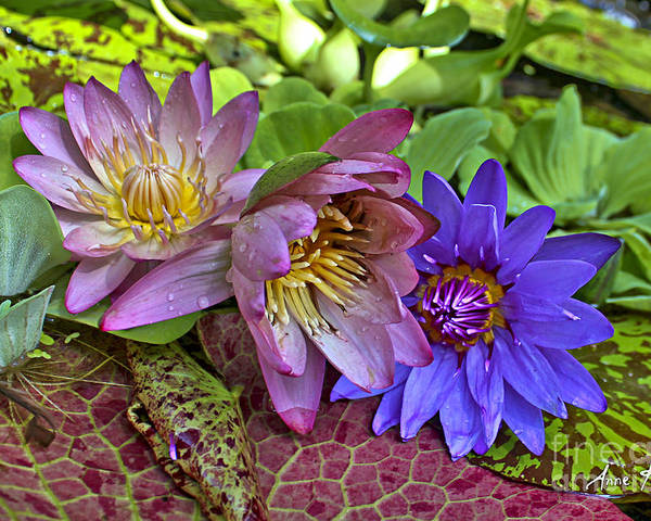 Blue Purple Violet Magenta Pink Flowers Water Lily Lilies Poster featuring the photograph Lilies No. 29 by Anne Klar