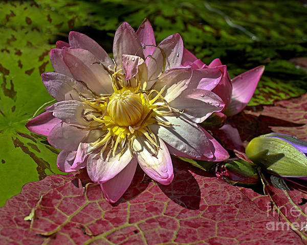 Pink Rose Waterlily Poster featuring the photograph Lilies No.19 by Anne Klar