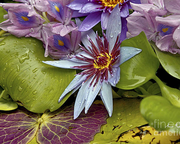 Waterlily Poster featuring the photograph Lillies No. 9 by Anne Klar