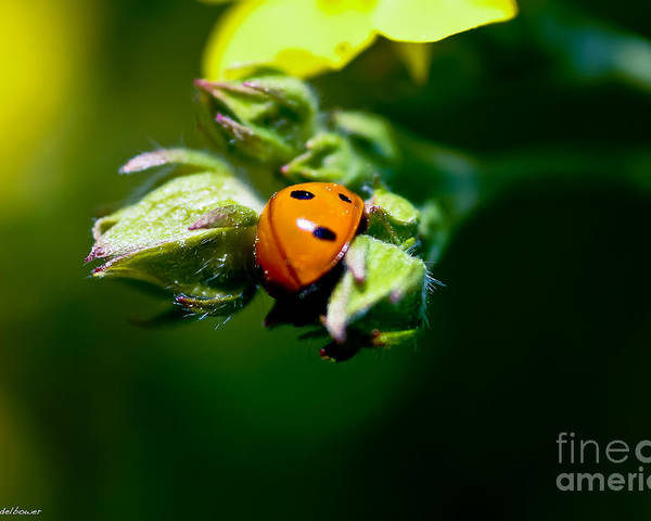 Ladybug Poster featuring the photograph Little Lady by Mitch Shindelbower