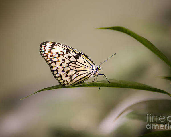 Butterfly Poster featuring the photograph Little Zebra by Leslie Leda