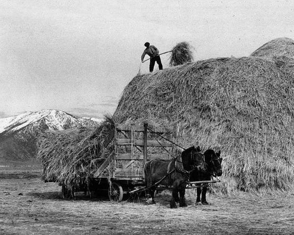 Adult Poster featuring the photograph Loading Hay by Arthur Rothstein