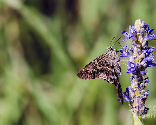 Cindy J Bryant Poster featuring the photograph Long-tailed Skipper Butterfly by Cindy Bryant