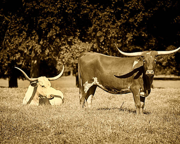 Cows Poster featuring the photograph Longhorn Cows Rsting In Monochrome by M K Miller