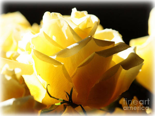 Yellow Rose Poster featuring the photograph Look On The Bright Side by Carol Groenen