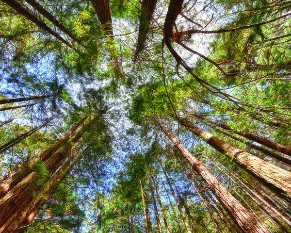 Redwoods Poster featuring the photograph Look To The Sky by Beth Sargent