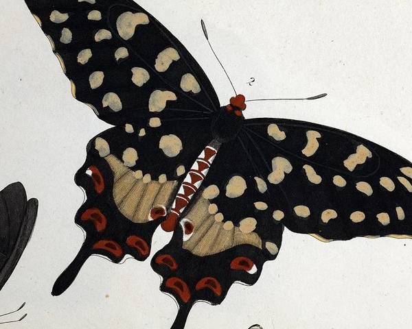 18th Century Poster featuring the photograph Madagascan Pipevine Swallowtail Butterfly by Paul D Stewart