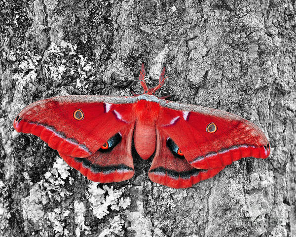 Moth Poster featuring the photograph Madam Moth - Red White And Black by Al Powell Photography USA