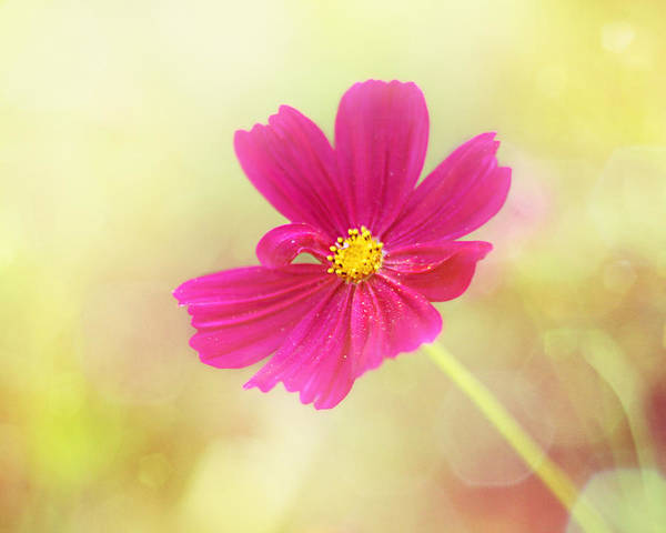 Hot Pink Flower Poster featuring the photograph Mademoiselle by Amy Tyler
