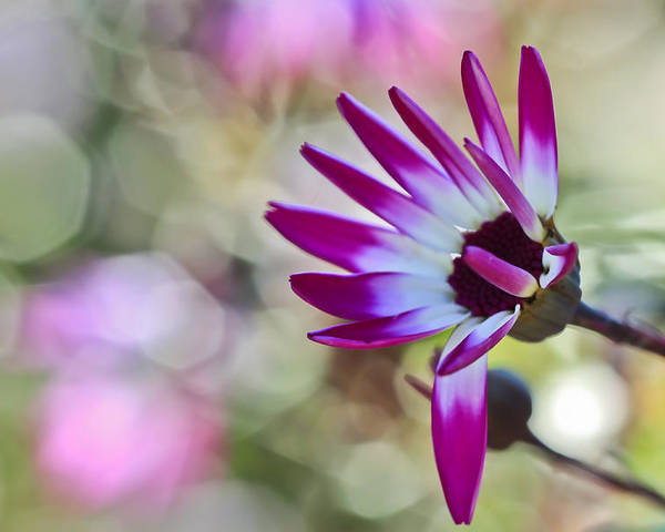 Flower Poster featuring the photograph Magenta by Heidi Smith