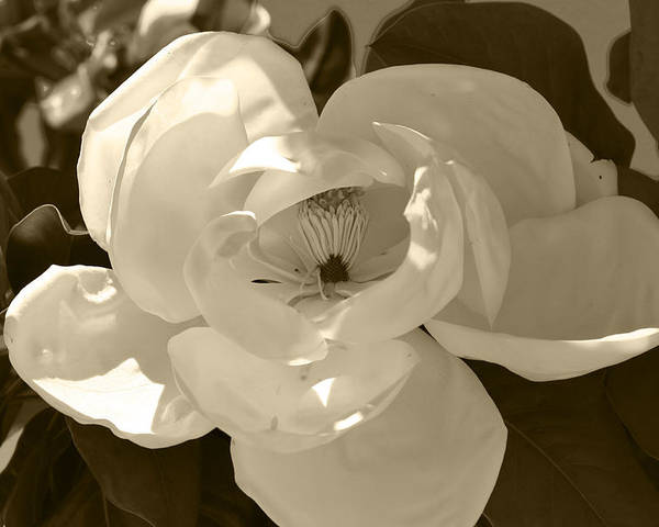 Flowers Poster featuring the photograph Magnolia 5 by Ofelia Arreola