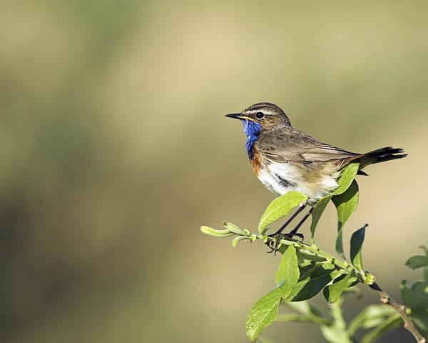 Luscinia Svecica Poster featuring the photograph Male Bluethroat by Duncan Shaw