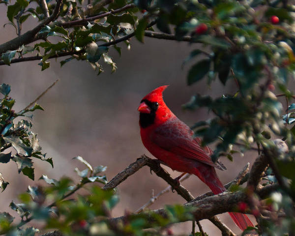 Ansonia Nature Center Poster featuring the photograph Male Cardinal by Ron Smith