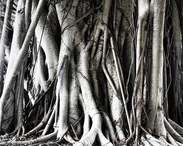 Mangrove Poster featuring the photograph Mangrove Tentacles by Douglas Barnard