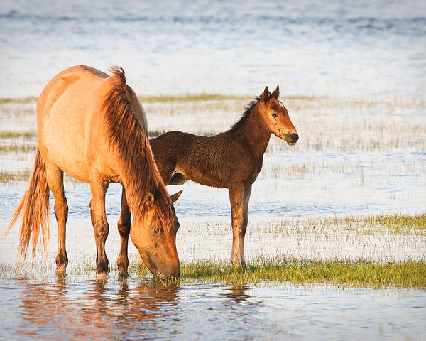 Wild Poster featuring the photograph Mare And Foal by Bob Decker