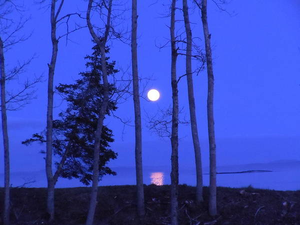 Maine Poster featuring the photograph May Moon Through Birches by Francine Frank
