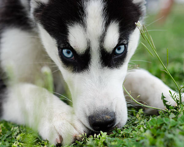 Husky Poster featuring the photograph Meko by Off The Beaten Path Photography - Andrew Alexander