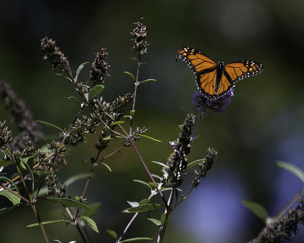 Monarch Butterfly Photographs Poster featuring the photograph Monarch In Morning Light by Rob Travis