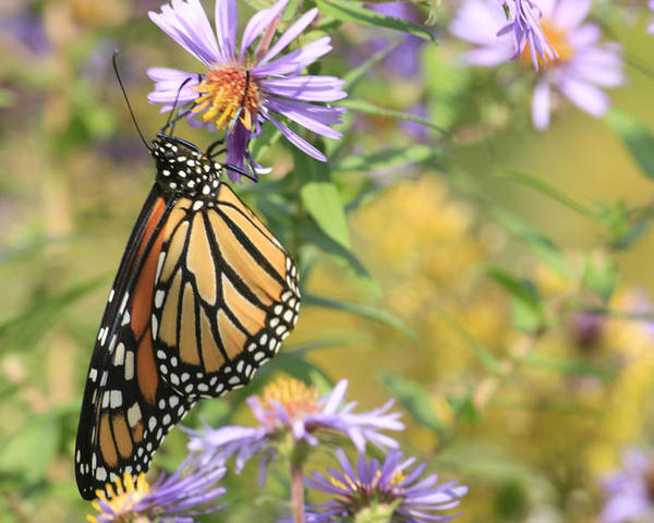 Butterflies Poster featuring the photograph Monarch profile one by Alan Rutherford