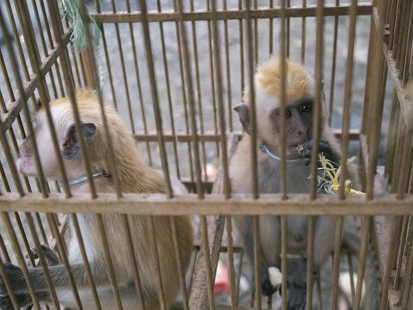 Animal Poster featuring the photograph Monkey Trafficking by Javier Truebamsf
