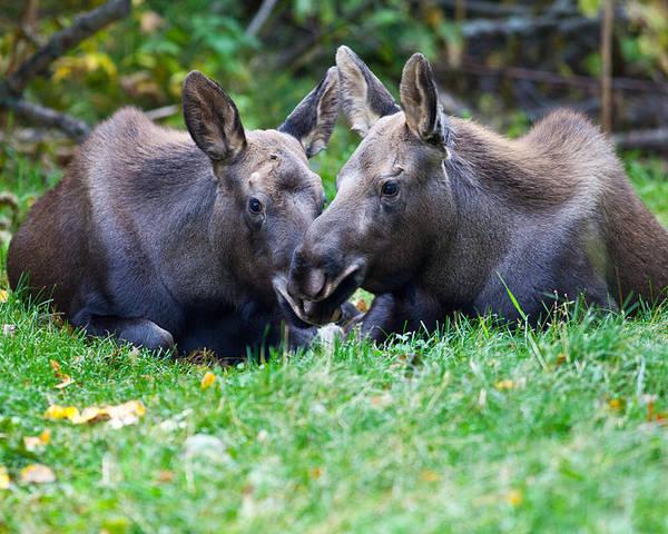 Alaska Poster featuring the photograph Moose Calves by Chris Heitstuman