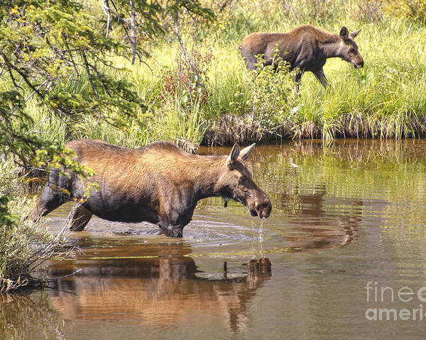 Moose Poster featuring the photograph Moose Family by Andre Babiak