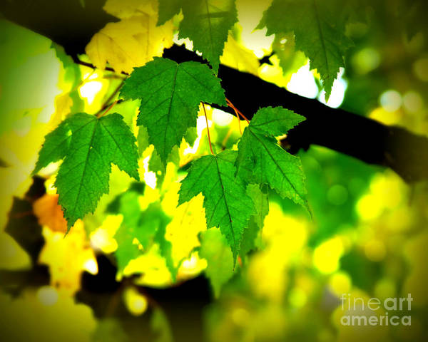 Leaf Poster featuring the photograph Morning Light by Perry Webster