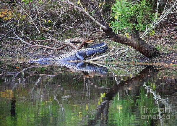 Florida Gator Poster featuring the photograph Morris Bridge Gator by Carol Groenen