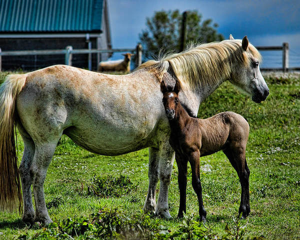 Horse Poster featuring the photograph Mother And Child by David Theroff