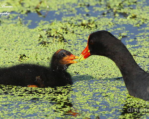 Common Gallinule Poster featuring the photograph Mother Common Gallinule Feeding Baby Chick by Barbara Bowen
