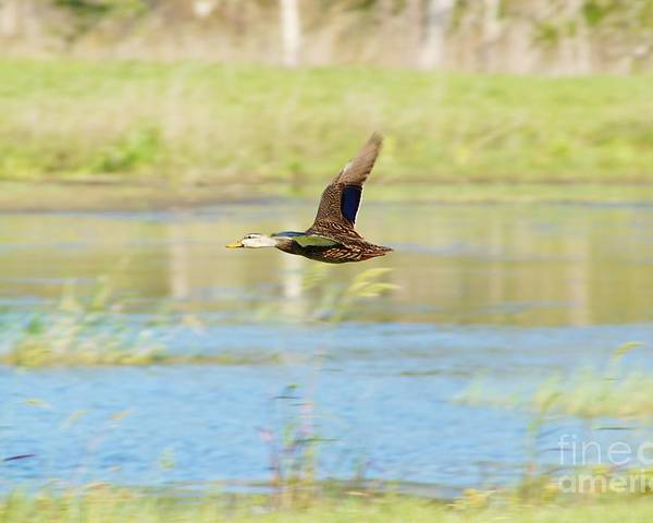 Mottled Duck Poster featuring the photograph Mottled Duck In Flight by Lynda Dawson-Youngclaus