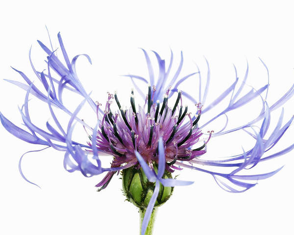 Horizontal Poster featuring the photograph Mountain Cornflower (centaurea Montana) Against White Background by Frank Krahmer