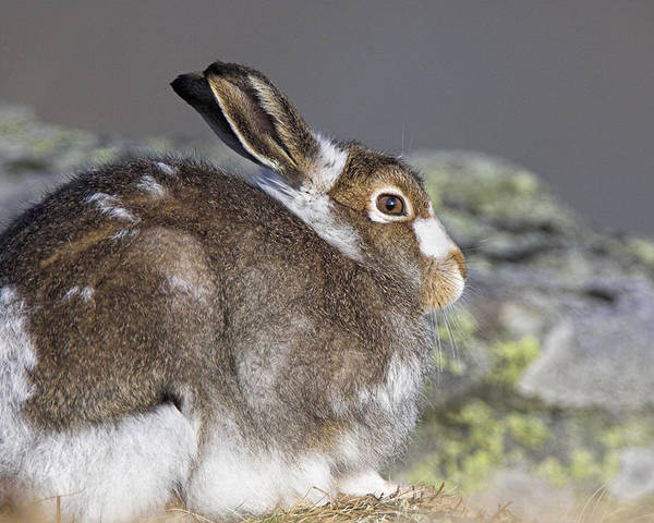 Mountain Hare Poster featuring the photograph Mountain Hare by Duncan Shaw