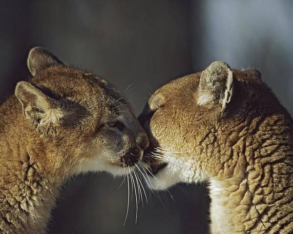 Animal Head Poster featuring the photograph Mountain Lion Felis Concolor Cub by David Ponton