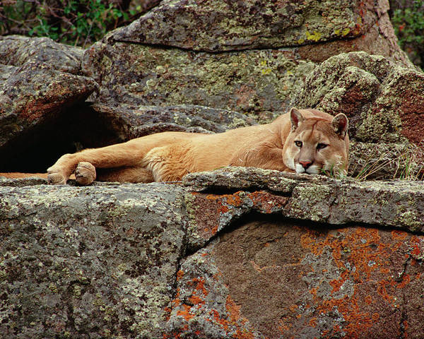 Mp Poster featuring the photograph Mountain Lion Puma Concolor Lounging by Gerry Ellis